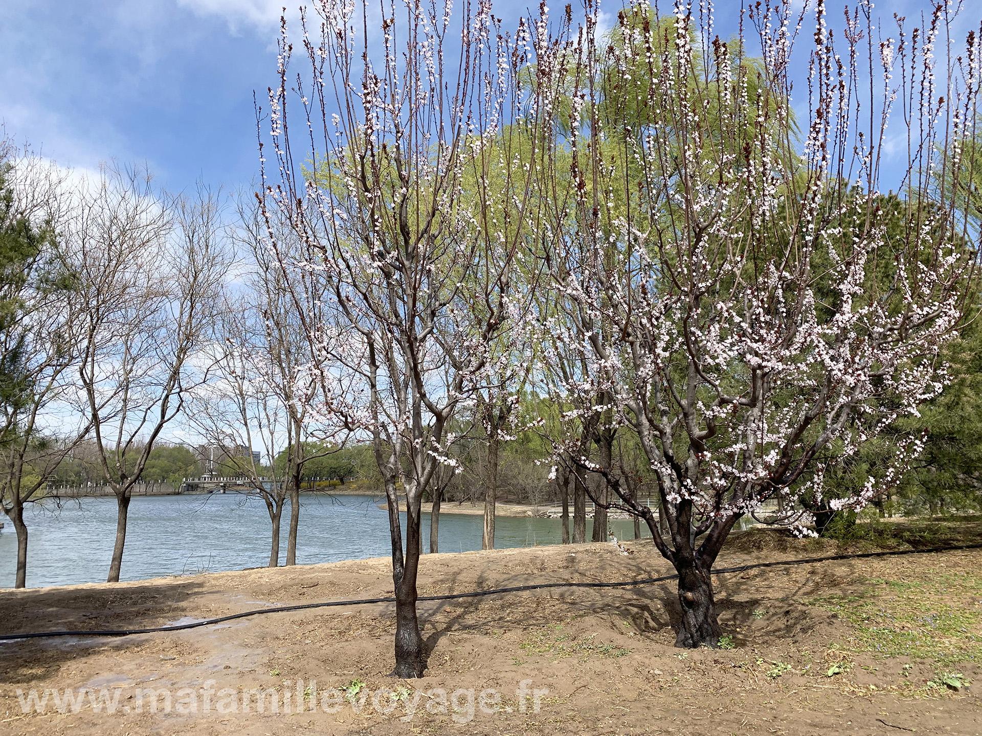 Quelques cerisiers commencent à fleurir